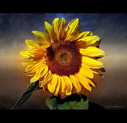 kwiat słonecznika hurtownia florystyczna
